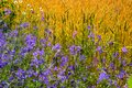 Beautiful background of ripening wheat and flowers of blue in the field Royalty Free Stock Photo