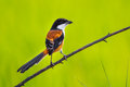 Beautiful backside of long tailed shrike lanius schach in nature thailand Royalty Free Stock Photo