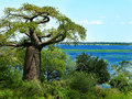 Beautiful baobab tree in botswana alongside the lake Royalty Free Stock Photo