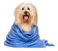 Beautiful bathed reddish havanese dog wrapped in a blue towel happy after bath is sitting and looking at camera isolated on white Stock Photos