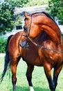 Beautiful bay arabian stallion outdoor Stock Photos