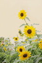 Beautiful beach sunflowers Stock Image