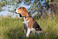 A beautiful Beagle  dog Royalty Free Stock Image