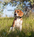 A beautiful Beagle hound dog Royalty Free Stock Photos