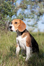 A beautiful Beagle hound dog Royalty Free Stock Photography