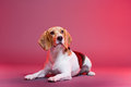 Beautiful beagle portrait of a dog with colorful background Royalty Free Stock Image