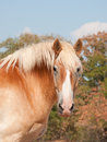 Beautiful Belgian draft horse looking at viewer Stock Photo