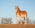 Beautiful Belgian draft horse in winter pastur Stock Images