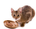 Beautiful bengal cat Stock Image