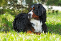 Beautiful Bernese mountain dog rests in the shade Royalty Free Stock Photo