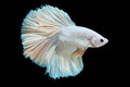 Beautiful betta splendens isolated on black background Royalty Free Stock Photo