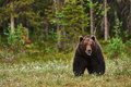 Beautiful big brown bear in finnish taiga frontally photographed Royalty Free Stock Images