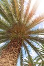 Beautiful big palm tree on the background of blue sky and sun Royalty Free Stock Photo