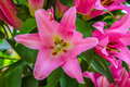 Beautiful big pink lily flower close-up Royalty Free Stock Photo