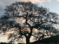 Beautiful big tree in Greenock Scotland with reds and blue sky