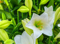 Beautiful big white lily flower close-up Royalty Free Stock Photo