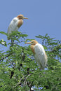 Beautiful Bird (cattle egret) perching on top of tree Royalty Free Stock Photo