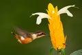 Beautiful bird with flower. Feeding scene with bird. Hummingbird in fly. Flying small hummingbird Purple-throated Woodstar with cl Royalty Free Stock Photo