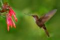Beautiful bird with flower. Hummingbird Brown Inca, Coeligena wilsoni, flying next to beautiful pink flower, pink bloom in