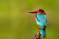 Beautiful bird from India. White-throated Kingfisher, Halcyon smyrnensis, exotic brawn and blue bird sitting on the branch, Sri La