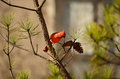 Beautiful bird Northern Cardinal sitting on pine tree branch. Royalty Free Stock Photo