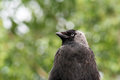 Beautiful bird a young jackdaw black gray Royalty Free Stock Photography