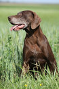 Beautiful bitch of german shorthaired pointer in nature Stock Photography