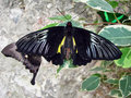 Beautiful black butterflys about a stone the yellow sits on big among small Royalty Free Stock Images