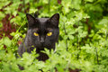 Beautiful black cat portrait with yellow eyes and attentive serious look in green grass and flowers in nature closeup Royalty Free Stock Photo