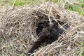 Beautiful black cat sleeping in a hay pile in the garden Royalty Free Stock Photo