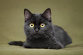 Beautiful black cat with yellow eyes Royalty Free Stock Photo
