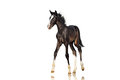 Beautiful black colt horse walks on a white background. Isolate. Royalty Free Stock Photo