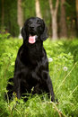 Beautiful Black Dog Flat-coate...