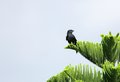 A beautiful black drongo perched on a tree are insectivorous birds and are found in open forests or bush Royalty Free Stock Image