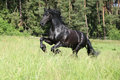 Beautiful black friesian stallion running in front of the forest Stock Images