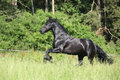 Beautiful black friesian stallion running in front of the forest Stock Photo