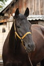 Beautiful black horse portrait at the stable wooden Royalty Free Stock Photography