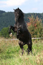 Beautiful black horse prancing on pasturage in autumn Stock Photos