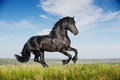 Beautiful black horse running gallop Royalty Free Stock Photo