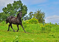 Beautiful black Morgan Horse running Royalty Free Stock Photo