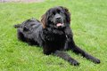 Beautiful black newfoundland laying in the grass a month old fuzzy puppy Royalty Free Stock Photography