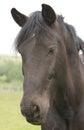 Beautiful black pony