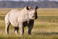Beautiful black rhino Royalty Free Stock Photo