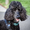 Beautiful black standard poodle looking at the camera head and shoulders of with decorative turquoise collar and harness Royalty Free Stock Image
