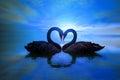 Beautiful black swan in heart shape on lake blue moon light Royalty Free Stock Photo