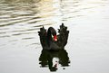 Beautiful black swan with reflection swimming on autumn water Royalty Free Stock Photo