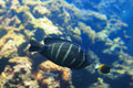 Beautiful black tropical fish Royalty Free Stock Photos