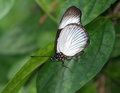 Beautiful black and white butterfly standing on green leaf Stock Image