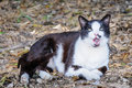 Beautiful black and white cat shows red tongue lying on leaves in the forest Stock Photo