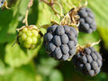 Beautiful blackberries Stock Photography